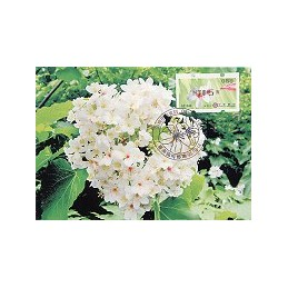TAIWÁN (2009). Flores Tung (3)- negro. Tarjeta máxima (088) 2*
