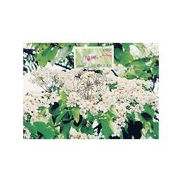 TAIWÁN (2009). Flores Tung (3)- negro. Tarjeta máxima (088) 5*