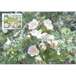 ALAND (2008). Burnet rose....